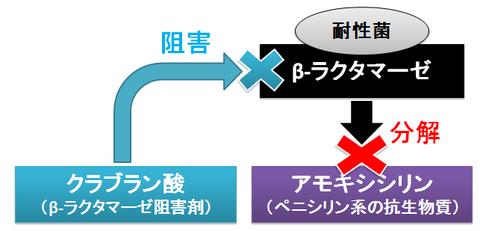 クラブラン酸の作用2