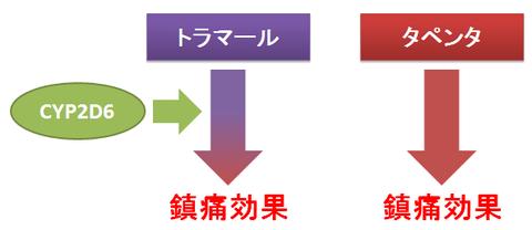 タペンタとトラマール~CYP2D6