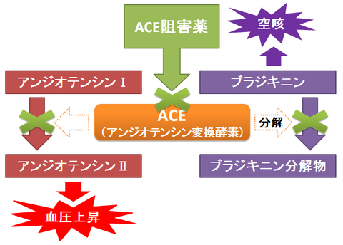 ACE阻害薬と空咳~ブラジキニン