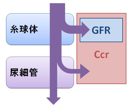 CcrとGFR